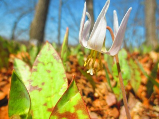 trout lily detail