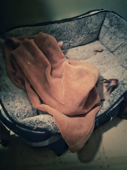 puppy asleep under a blankie